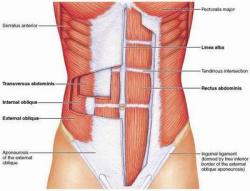 abdominal-core-anatomy